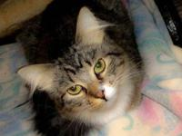 Tabby - Gracie - Small - Adult - Female - Cat Our sweet