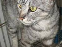 Tabby - Grey - 1 Cat - Lisa (urgent) - Large - Adult -