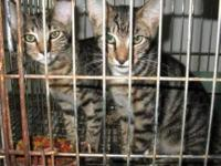 Tabby - Grey - 1 Kitten - Trina (urgent) - Medium -