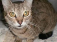 Tabby - Grey - 13013 Rescued - Small - Adult - Male -