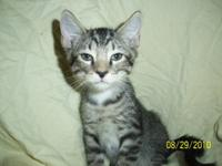 Tabby - Grey - Aaron - Medium - Young - Male - Cat