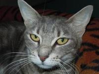 Tabby - Grey - Abby - Medium - Young - Female - Cat I