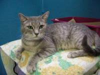 Tabby - Grey - Amelia - Medium - Adult - Female - Cat 1