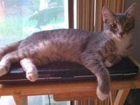 Tabby - Grey - Bea - Small - Adult - Female - Cat I