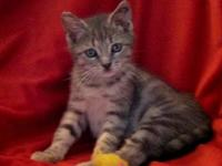 Tabby - Grey - Beatle - Small - Baby - Male - Cat
