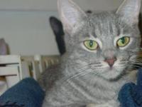 Tabby - Grey - Betty Davis - Medium - Adult - Female -