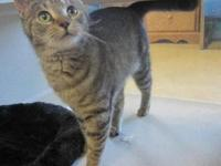 Tabby - Grey - Boo Boo - Small - Young - Female - Cat