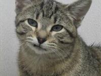 Tabby - Grey - C.p. - Medium - Adult - Female - Cat