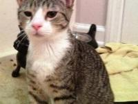 Tabby - Grey - Camael - Medium - Young - Male - Cat He