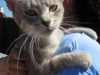 Tabby - Grey - Carolina - Medium - Adult - Female -