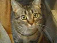 Tabby - Grey - Chubby - Medium - Adult - Female - Cat