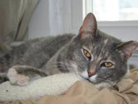Tabby - Grey - Cindy-#121311 - Medium - Young - Female