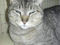 Tabby - Grey - Colin - Medium - Adult - Male - Cat
