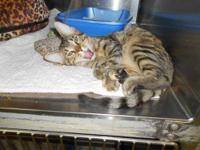 Tabby - Grey - Courtney - Small - Baby - Female - Cat
