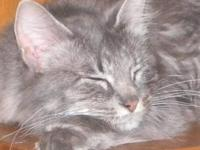 Tabby - Grey - Daisy - Medium - Adult - Female - Cat