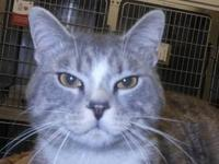 Tabby - Grey - Dante - Medium - Adult - Male - Cat