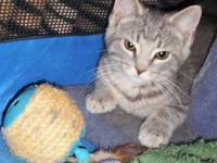 Tabby - Grey - Devin - Medium - Baby - Male - Cat Blue