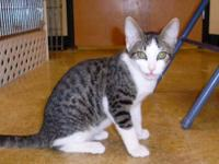 Tabby - Grey - Dixon - Medium - Baby - Male - Cat