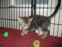 Tabby - Grey - Dodger - Small - Baby - Female - Cat