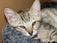 Tabby - Grey - Duffy - Large - Baby - Female - Cat