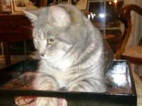Tabby - Grey - Eva - Small - Young - Female - Cat This