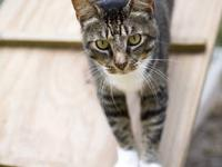 Tabby - Grey - Fiona - Large - Adult - Female - Cat