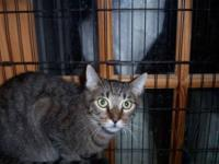 Tabby - Grey - Francis - Medium - Young - Male - Cat