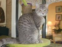 Tabby - Grey - Gia - Medium - Young - Female - Cat She