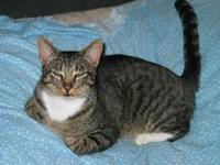 Tabby - Grey - Giant - Large - Adult - Male - Cat