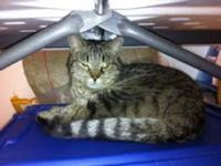 Tabby - Grey - Gina I - Medium - Adult - Female - Cat