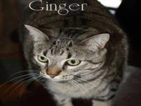 Tabby - Grey - Ginger - Good With Cats, Dogs, Children