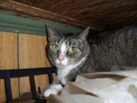 Tabby - Grey - Gloria - Medium - Adult - Female - Cat