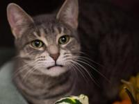 Tabby - Grey - Hayley - Medium - Adult - Female - Cat