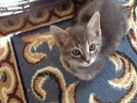 Tabby - Grey - Hemi - Large - Baby - Male - Cat I have