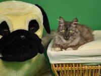 Tabby - Grey - Hiccup - Medium - Adult - Female - Cat
