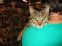 Tabby - Grey - Honey - Medium - Adult - Male - Cat