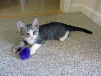 Tabby - Grey - Hugo - Small - Young - Male - Cat This