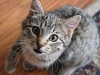 Tabby - Grey - Jake - Medium - Young - Male - Cat