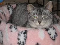 Tabby - Grey - Jan - Small - Adult - Female - Cat SH