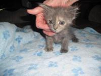 Tabby - Grey - Jessie - Medium - Baby - Male - Cat Can