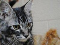 Tabby - Grey - Jethro - Medium - Baby - Male - Cat Hi!