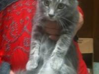 Tabby - Grey - Katie - Medium - Baby - Female - Cat