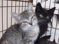 Tabby - Grey - Keith - Medium - Baby - Male - Cat very