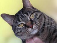 Tabby - Grey - Leah - Medium - Adult - Female - Cat Hi,