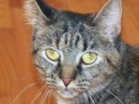 Tabby - Grey - Lilo - Medium - Young - Female - Cat