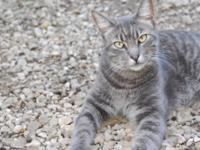 Tabby - Grey - Loretta - Medium - Adult - Female - Cat