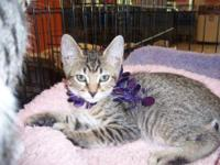 Tabby - Grey - Maggie - Medium - Baby - Female - Cat