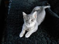 Tabby - Grey - Marlys - Medium - Young - Female - Cat
