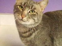 Tabby - Grey - Max - Large - Adult - Male - Cat Max is
