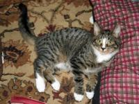 Tabby - Grey - Miles - Small - Young - Male - Cat This